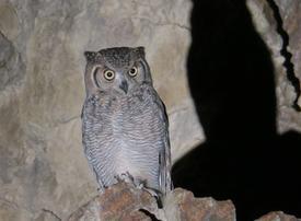 First Arabian Eagle Owl discovered in the UAE