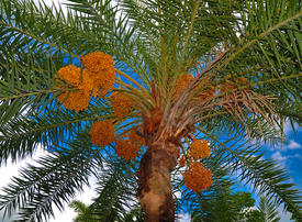 How date palms and satellites are helping the UAE fight carbon emissions