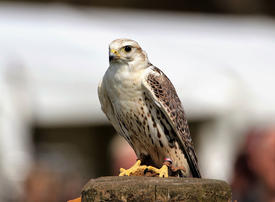 Video: Endangered falcons race to make a comeback in the Gulf