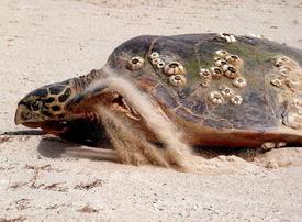 Video: UAE ecotourists help save Hawksbill turtles