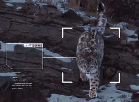 Video: Microsoft + Snow Leopard trust: Protecting a threatened species