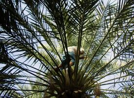 Date palm, Arab region symbol of prosperity, listed by UNESCO