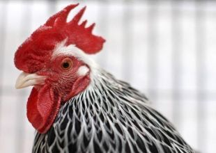 Saudi's Almarai plans to invest $1.1bn in poultry sector