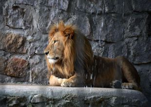 Doctor blamed for maid's death after pet lion attack in Kuwait