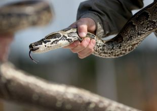 Dubai Customs discovers 3-metre python in passenger's luggage