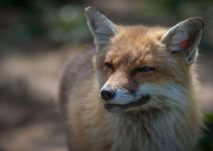 UAE Facebook user in court over fox image post