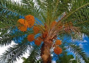 Abu Dhabi plans major planting of date trees
