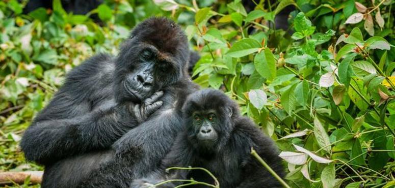 UAE zoo says to add four lowland gorillas