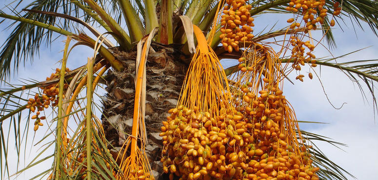 UAE wages war on tiny scourge threatening date palms