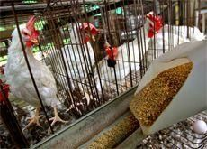 Kuwait halts poultry imports from Spain, Russia