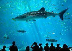 Atlantis frees Sammy the whale shark