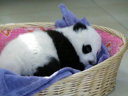 China's new baby pandas