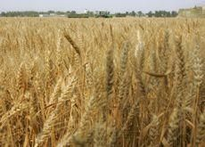 Iran to import 5-6mn tonnes of wheat in 08-09 -report
