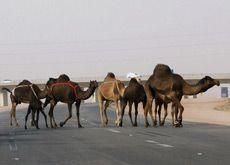 Aramco ordered to pay SR1m for death of beauty camel