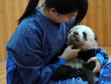 Birth of twin pandas