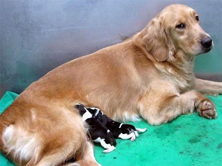First commercially cloned pups
