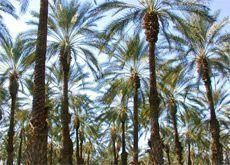 Drought resistant date palms plan backed by KAUST