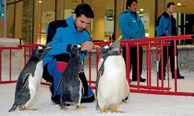 Penguin colony settles into new home in Ski Dubai