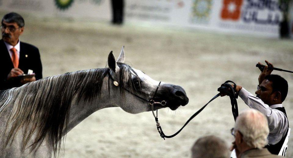 Arabian horses on show in Sharjah