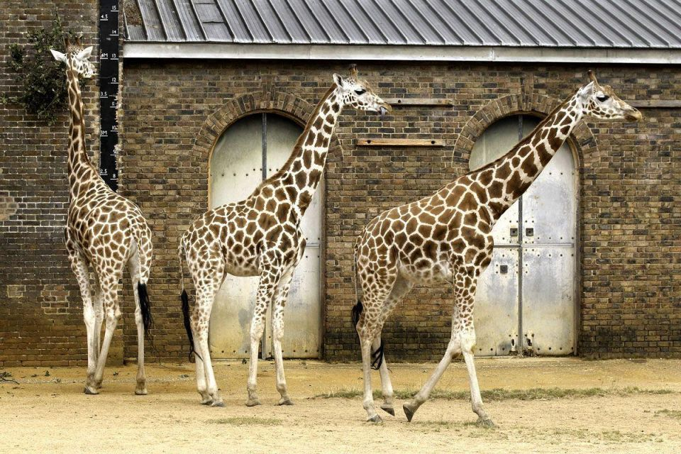 London Zoo staff conduct their annual weigh in for the animals