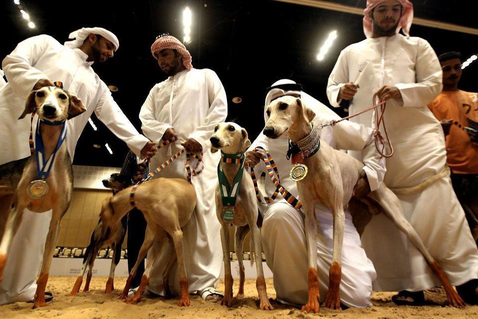 Arabian Saluki beauty contest held in Abu Dhabi