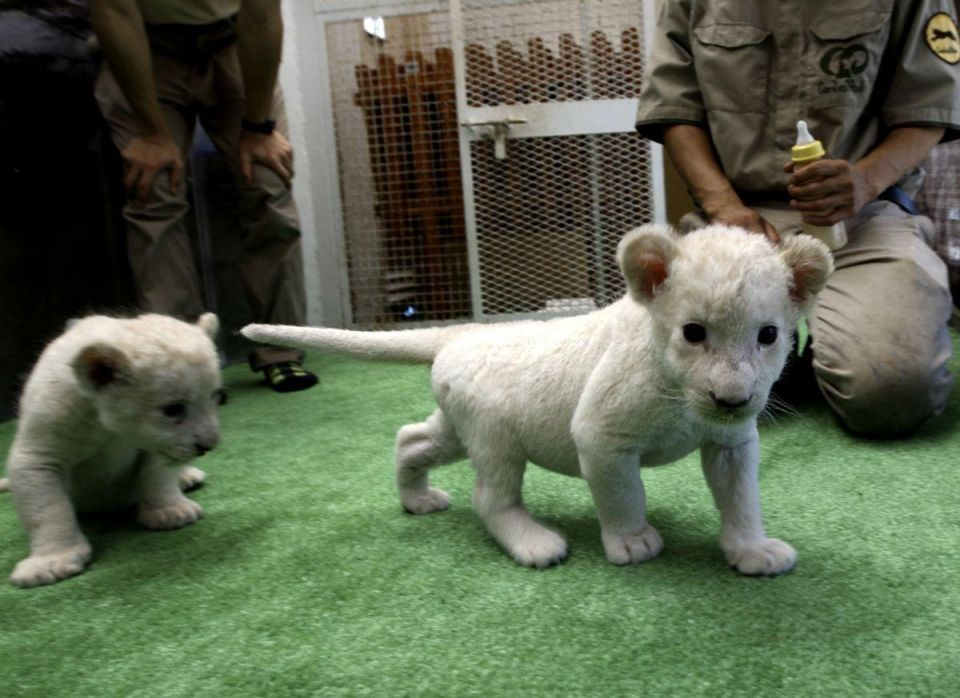 White lion cubs born at Japanese zoo