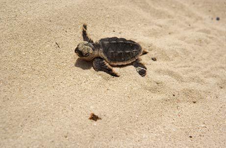 Hawksbill turtle nest hatches on Saadiyat Island