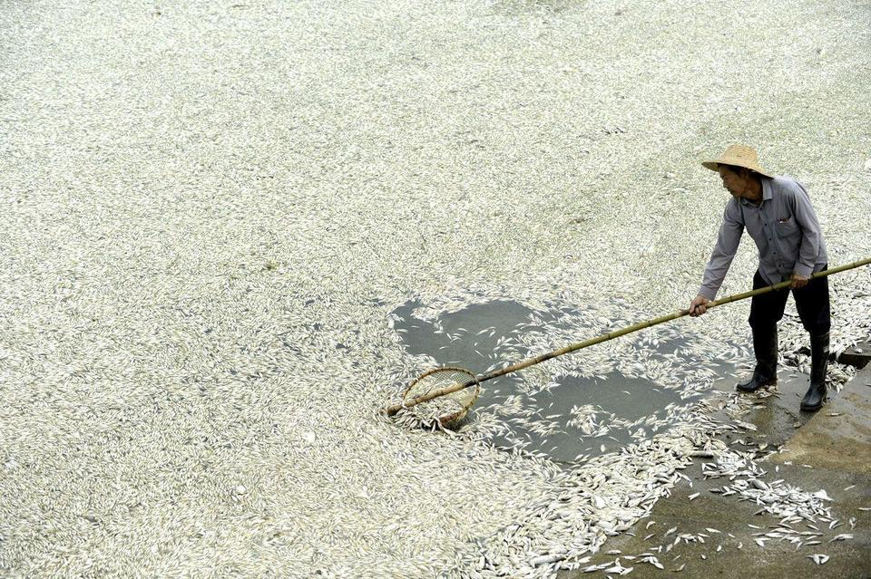 Chinese pollution kills fish