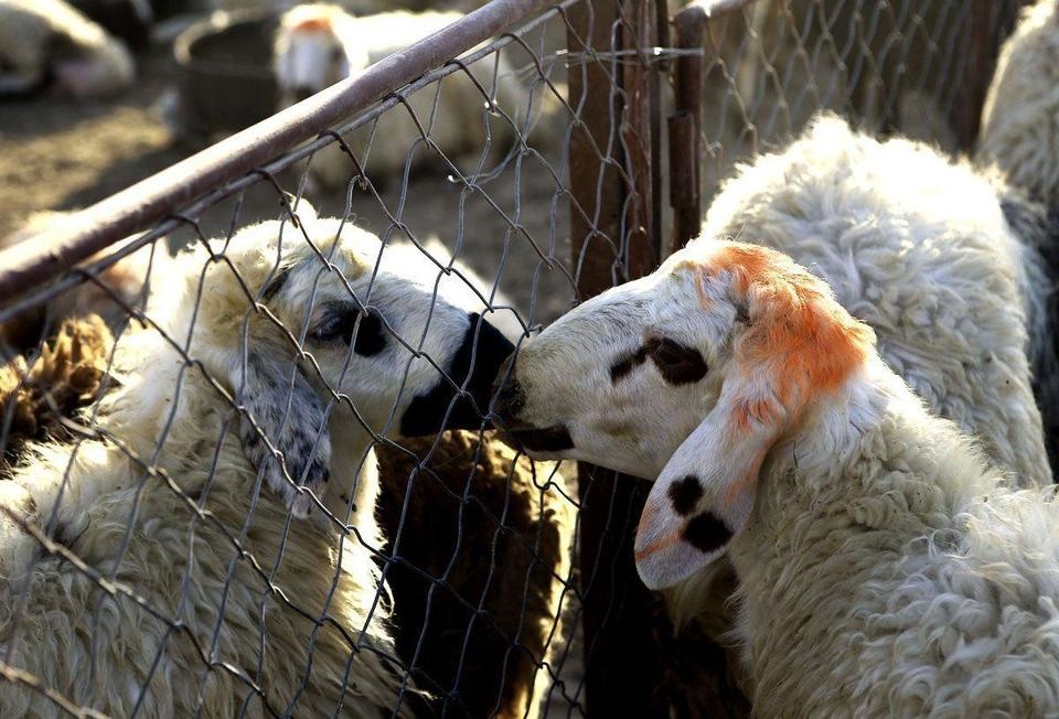 Australia resumes live sheep exports after ban lifted