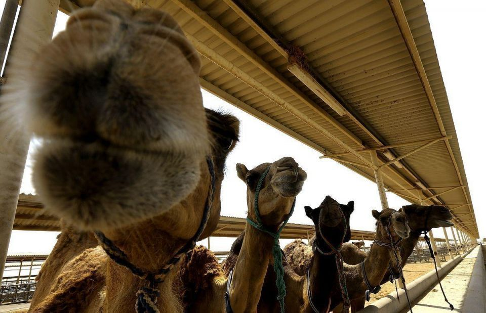 Qatari expat worker tests positive for camel flu