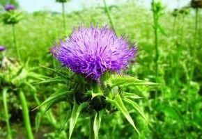 The magic of Milk Thistle: The #1 recommended plant extract