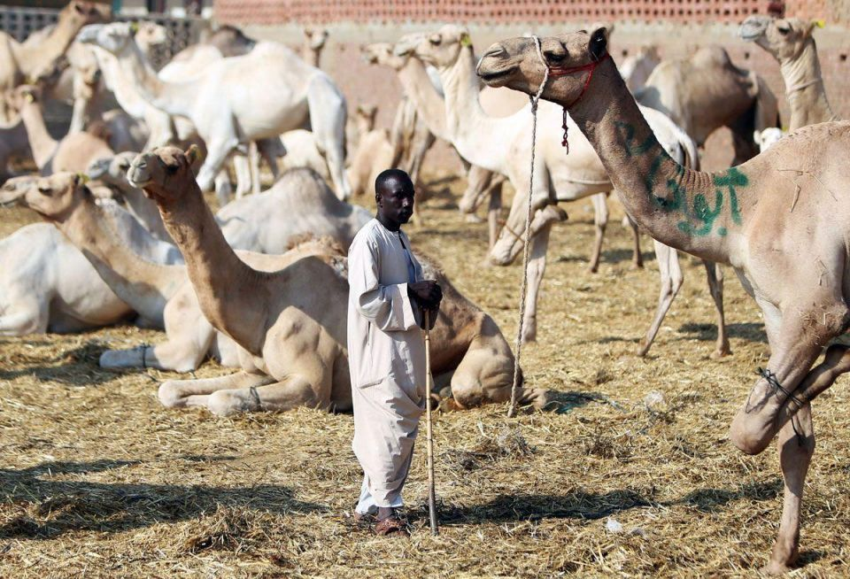 Egypt's largest camel market