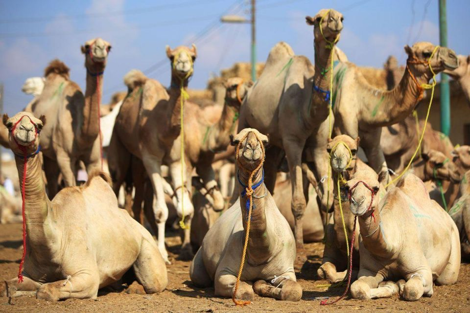 Saudi Arabia issues fresh warning against touching camels