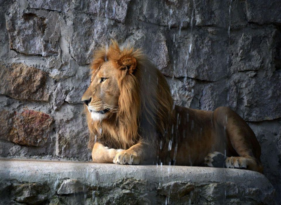 Kuwait launches investigation into death of maid attacked by lion