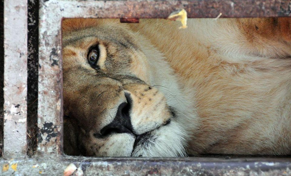 Dubai Police arrest owner of escaped lioness