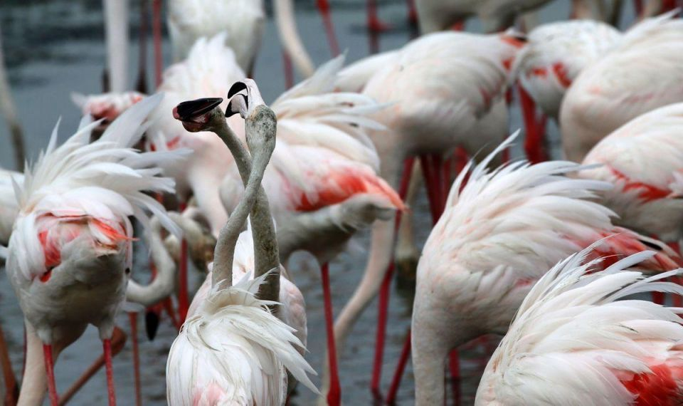 Pink flamingos at the Ras al-Khor Wildlife Sanctuary in Dubai
