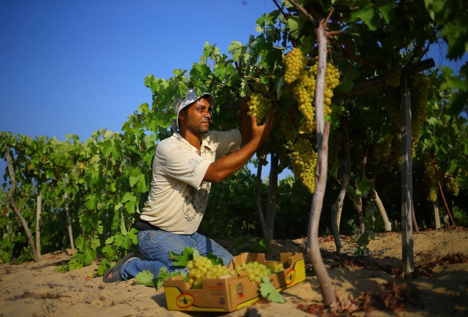 In pictures: Grapes farming in Gaza