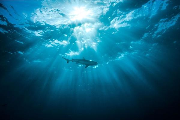 Half of Arabian Sea sharks 'at risk of extinction'