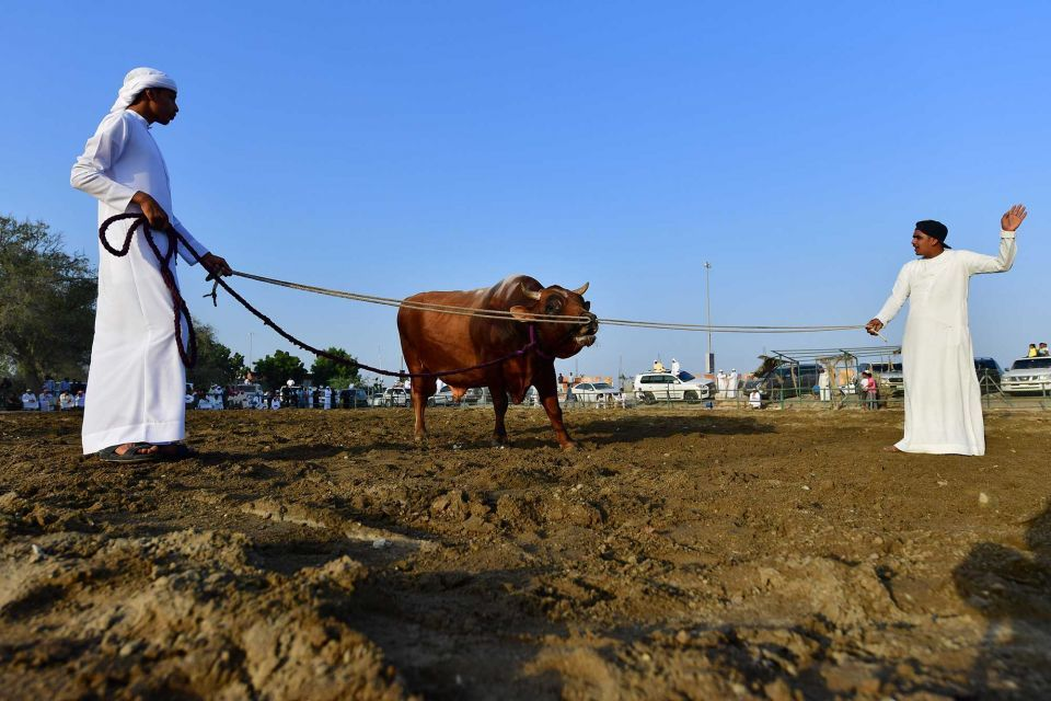 In pictures: Traditional bullfight in Fujairah
