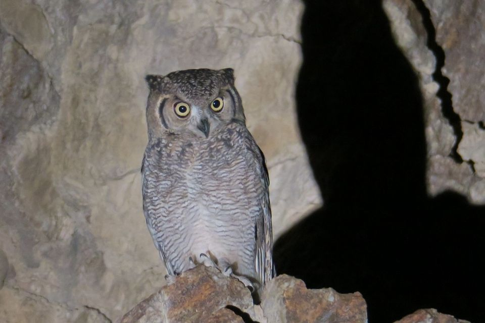 First Arabian Eagle Owl discovered in the UAE
