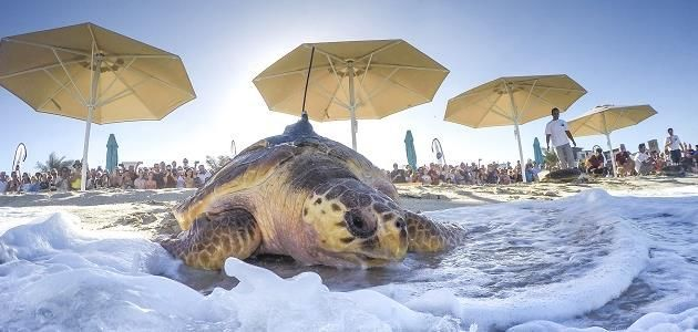 Dubai rehab programme releases 13 sea turtles back into Arabian Gulf