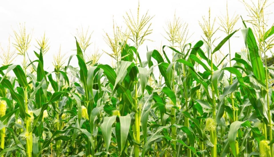 Indigo raises $250m to bring tech to big agriculture