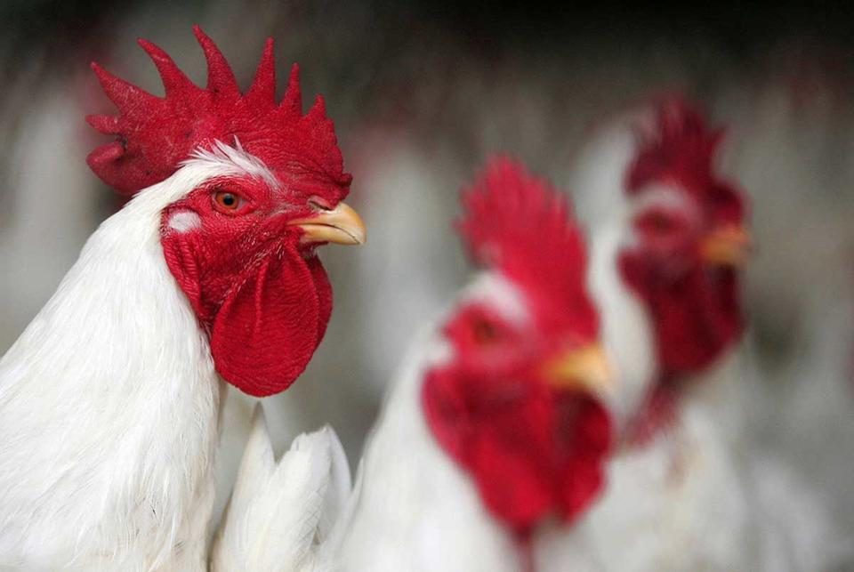Saudi Arabia bans transport of live poultry