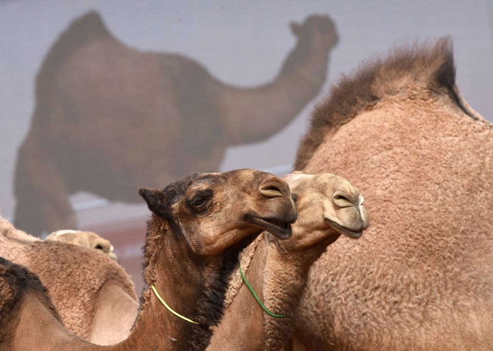 In pictures: Camel beauty contest in Saudi Arabia