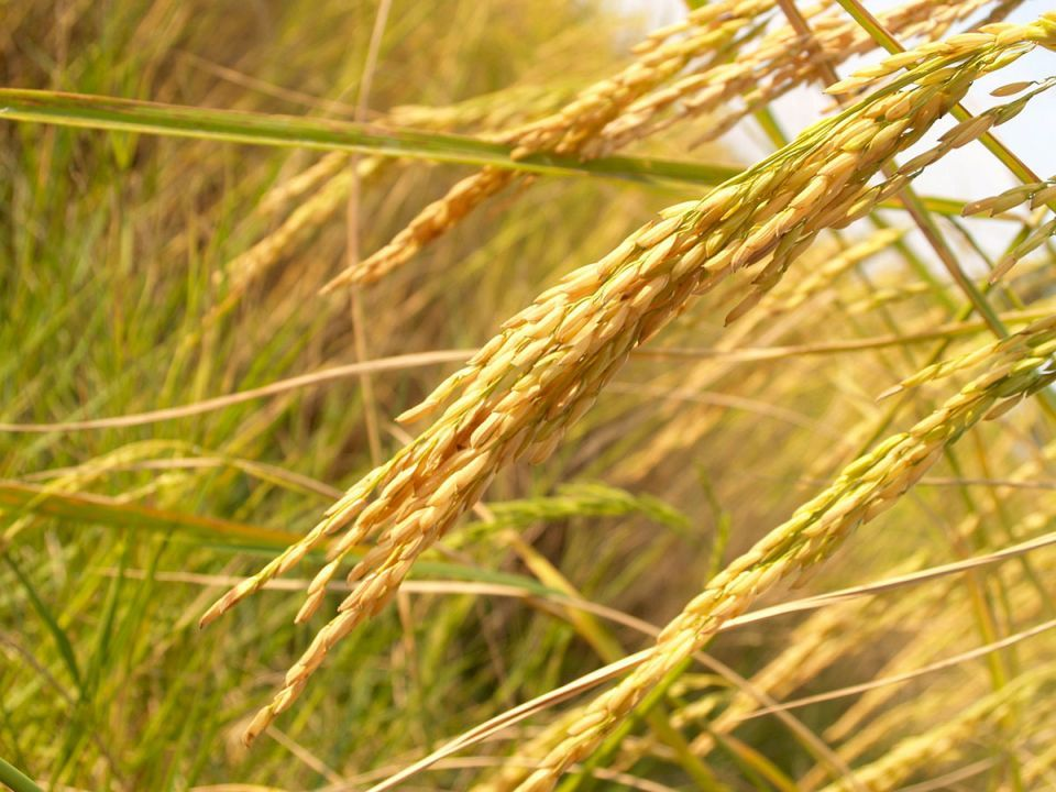 Indian rice exports to Saudi boosted by quality checks agreement