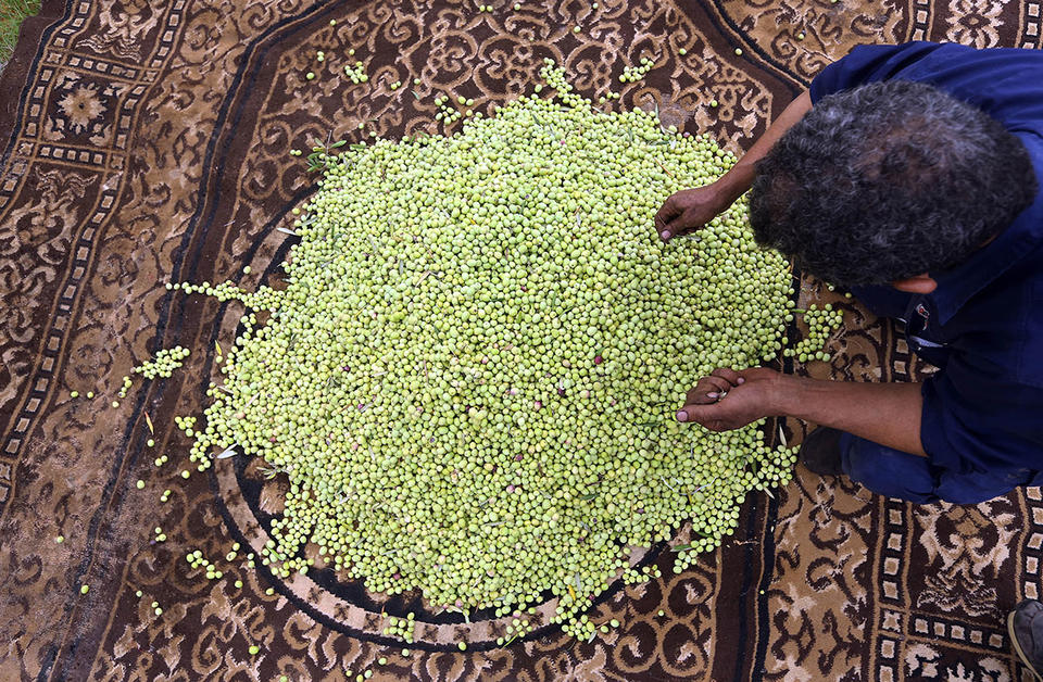 "Libyan ""green gold"" struggles amid export ban"