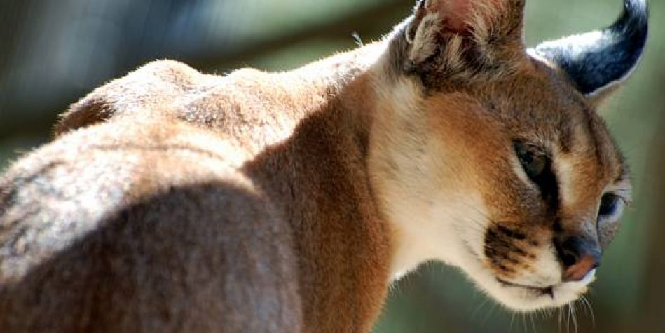 First Arabian Caracal sighted in Al Ain for 35 years