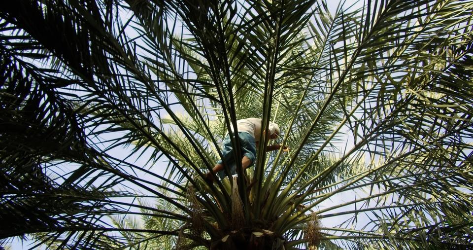 Date palm, Arab region symbol of prosperity, listed by UNESCO