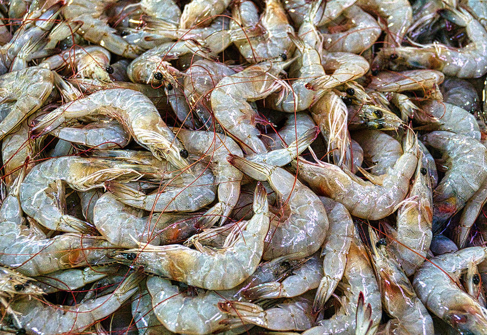 Popular Indian white shrimp is back in demand in the UAE